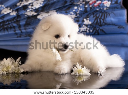 bitch and puppies Japanese Spitz - stock photo