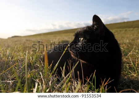 Black cat in the grass. Black domestic cat on the meadow is sneaking to hunt for prey - stock photo