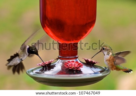 Black-chinned and Rufous hummingbirds share a feeder - stock photo