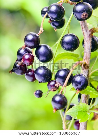 black currant, ripe berries on a branch. - stock photo