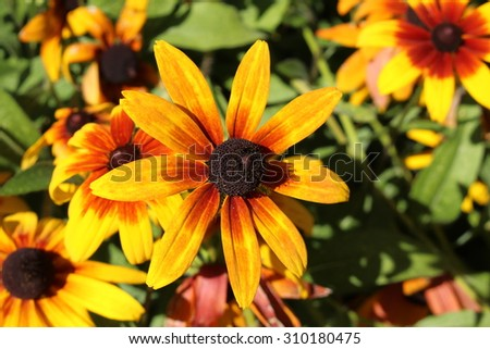 """Black-Eyed-Susan"" flower (or Brown Betty, Gloriosa Daisy, Golden Jerusalem, Poorland Daisy, Yellow Ox-Eye Daisy) in Innsbruck, Austria. Rudbeckia Hirta is native to North America."