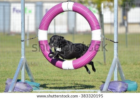 Black Mixed-Breed Dog Jumping Through a Tire at Dog Agility Trial - stock photo
