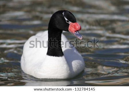 Black-necked swan (Cygnus melanocoryphus) - stock photo
