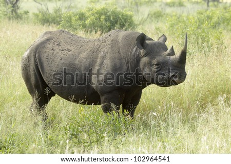 Black rhinocerus cow in the grasslands of Kwa-Zulu Natal, South Africa - stock photo