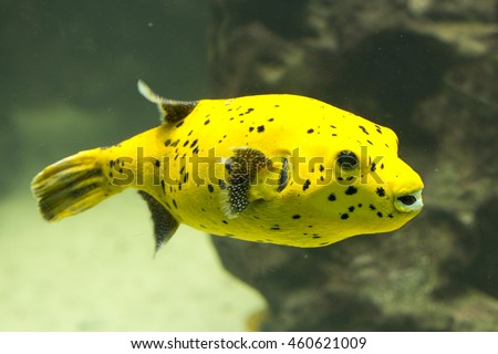 Black Spotted or Dog Faced Puffer fish. (Arothron nigropunctatus).