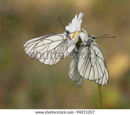 3 Black - Veined White Butterfly (Aporia crataegi) hanging on Leucanthemum vulgare in the early morning all together