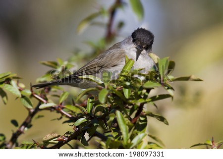 Blackcap Sylvia atricapilla, male - stock photo