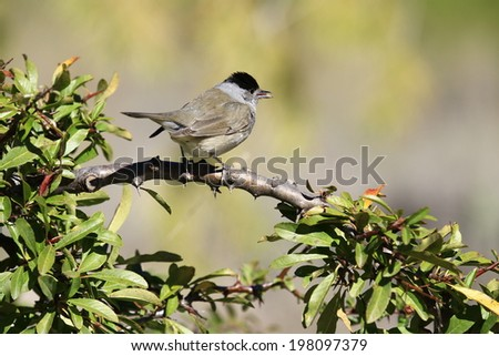 Blackcap Sylvia atricapilla, male - stock photo