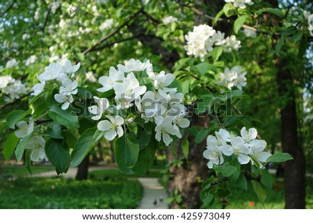 Blooming Apple tree in the garden. A branch of Apple blossoms close-up.                               - stock photo