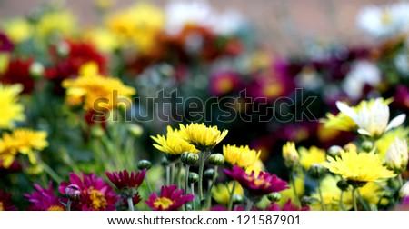 blooming chrysanthemum flowers - stock photo