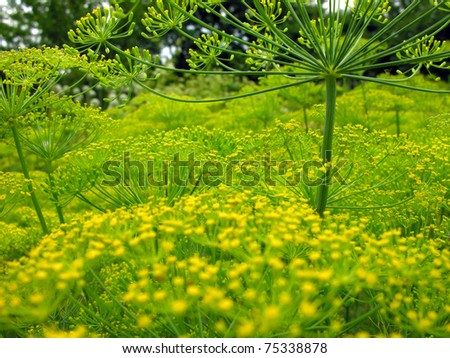 blooming dill - stock photo