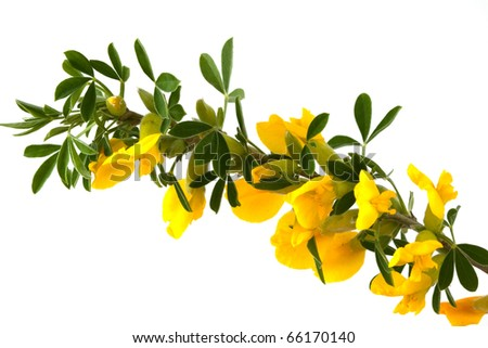 blooming forsythia on Isolated - stock photo