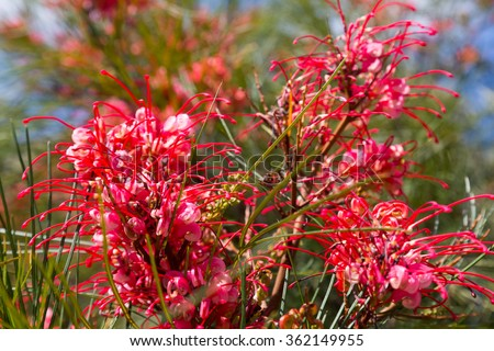 blooming Grevillea plant in spring - stock photo
