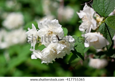 Blooming Philadelphus Virginal. Philadelphus virginalis. Jasmine. Background. - stock photo