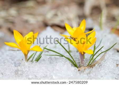 Blossom yellow crocuses on the snow - stock photo