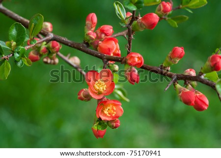 blossomed tree with red flowers - stock photo
