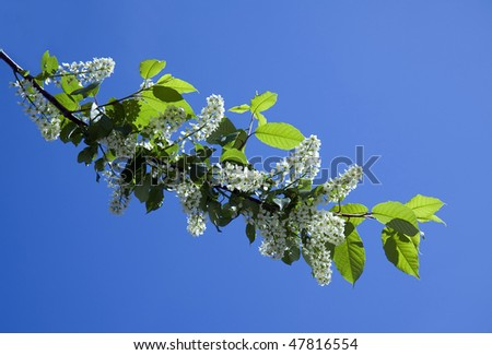 Blossoming bird cherry branch  (Prunus padus) on the blue sky background Copy space   - stock photo