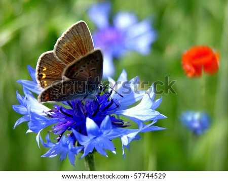 Blue cornflower with butterfly - stock photo