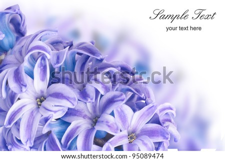 blue flowers hyacinth with green leaves isolated on white - stock photo
