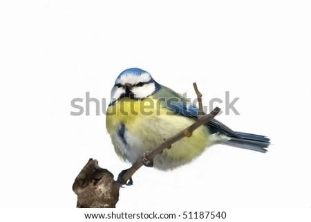 Blue Tit isolated on white background Parus caeruleus - stock photo