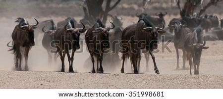 Blue Wildebeest (Connochaetes taurinus) Kgalagadi Transfortier Park, South Africa. jpg - stock photo