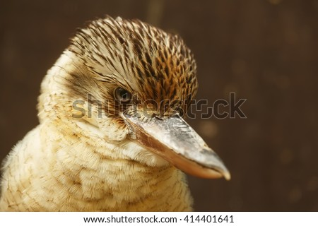Blue-winged Kookaburra portrait - stock photo