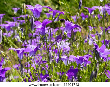 bluebell flowers - stock photo