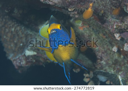 Blueface angelfish(  Pomacanthus xanthometopon ) swimming over coral reef of Bali, Indonesia
