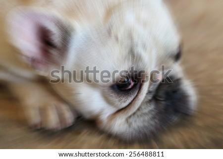 blurred white bulldog face - stock photo