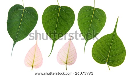 6 Bodhi leaves on white background. Each leaf was taken separately and combined into one photo. - stock photo