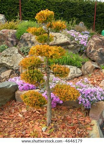 Bonsai - miniature of the tree - stock photo