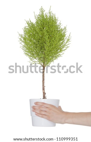 bonsai tree with green leaves as a gift - stock photo