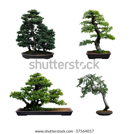 4 bonsai trees isolated on white - stock photo