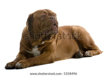 bordeaux dog, french mastiff laying down on the ground isolated on a white background