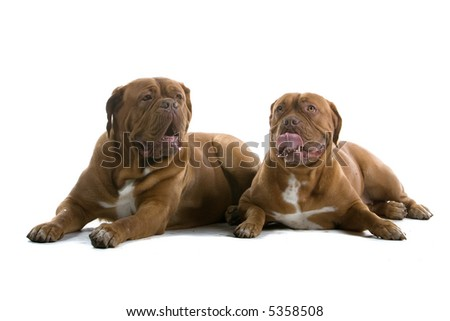bordeaux dogs, french mastiff