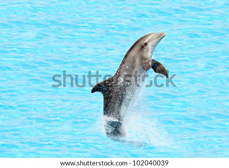 bottlenose dolphin ( Tursiops truncatus) performing a tail stand