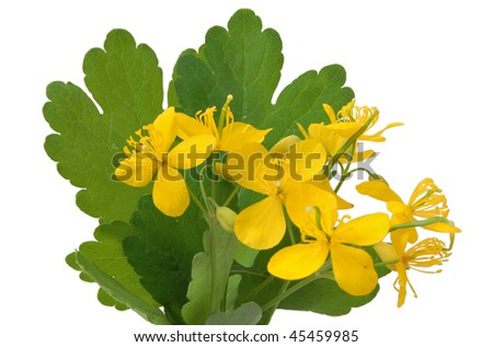 Branch celandine. Isolated - stock photo