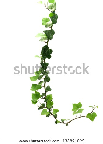 branch of ivy isolated on white background