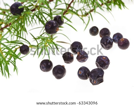 Branch of juniper juniperus communis with berries close up isolated on white - stock photo