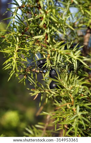 Branch of juniper with berries                   - stock photo