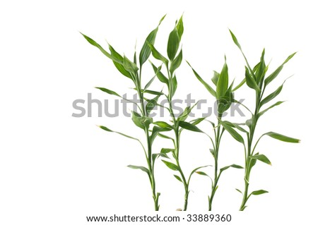 Branch of verdure bamboo leaves - stock photo