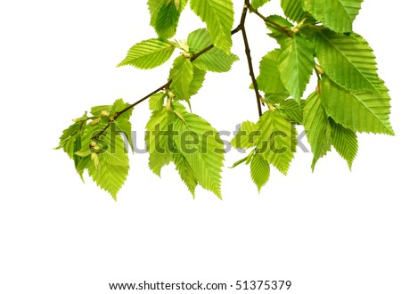 branch with green leafs isolated on white - stock photo