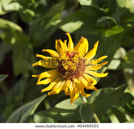 Bright  enchanting yellow flowers of Zinnia  a genus of annual  plants of  sunflower tribe within the daisy family brighten up the garden in the heat of the summer months with long lasting blooms. - stock photo
