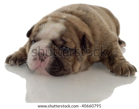 brindle english bulldog puppy with reflection on white background - 3 weeks old