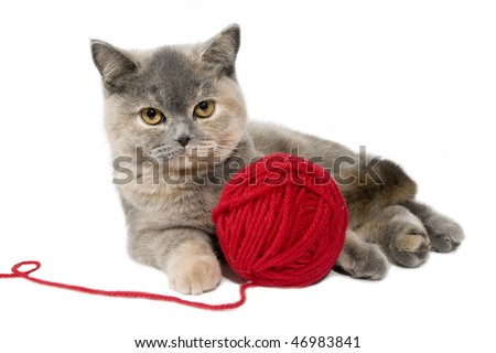 British cat playing with red clew . - stock photo