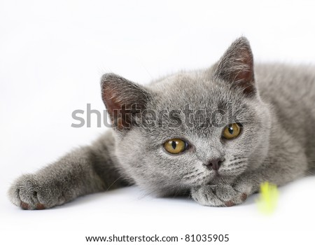 British kittens on white background - stock photo