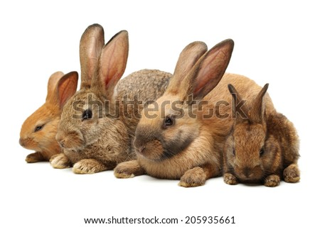 brown bunny rabbits isolated on white background.