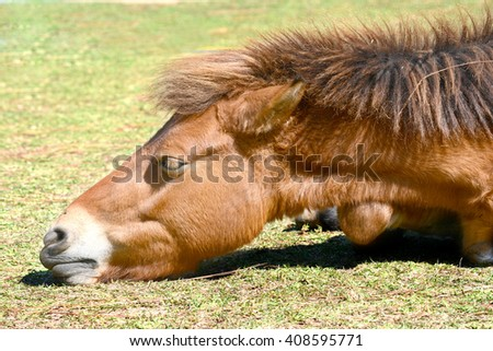 Brown horse, lying on the grass.