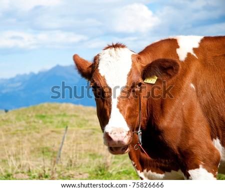 Brown Milk Cow, Switzerland - stock photo