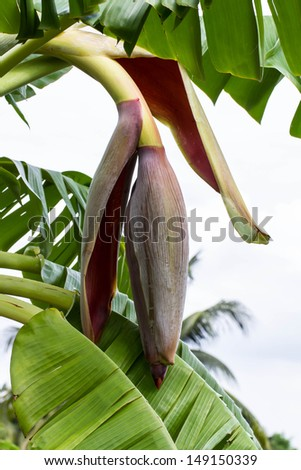 Bud end of a flowering banana stalk